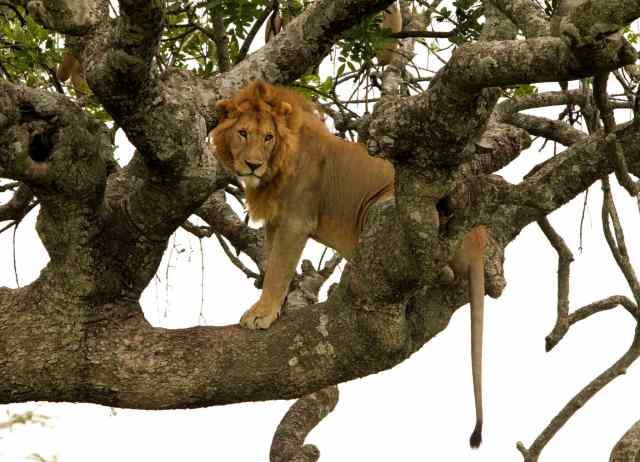 tan 12 sg lion on tree