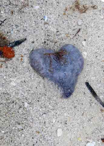 Randy found another heart for me! A cool colony of tunicates!