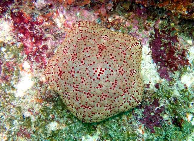 A Pin Cushion Sea Star