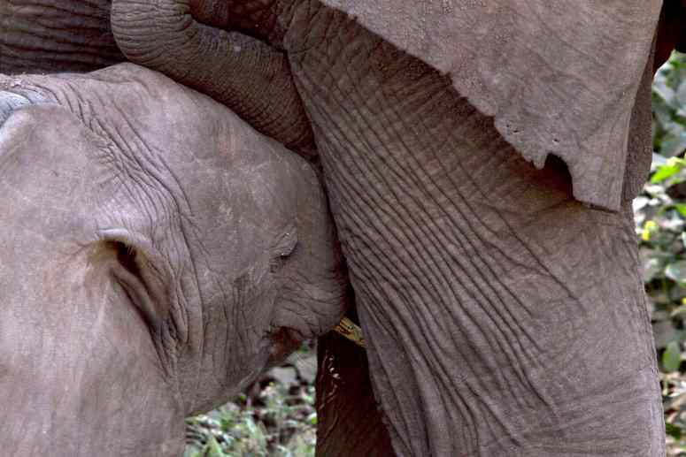 tan 12 lm eleph baby nursing