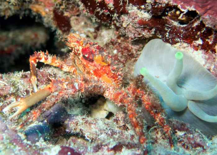 coz 13 sr hairy clinging crab and anemone
