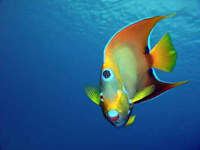 The Queen Angelfish on Paradise Reef, Cozumel, Mexico, 2007