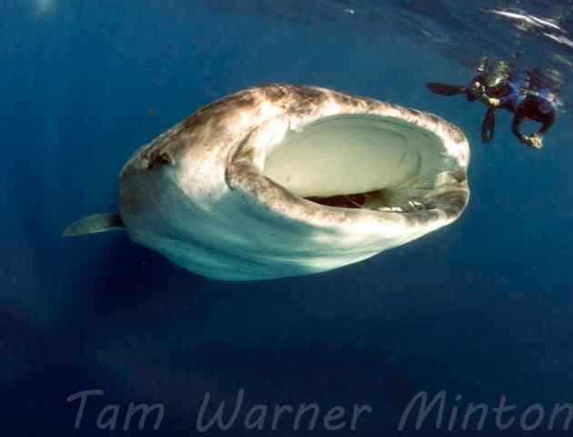 15 3 whale shark mouth open watermarked