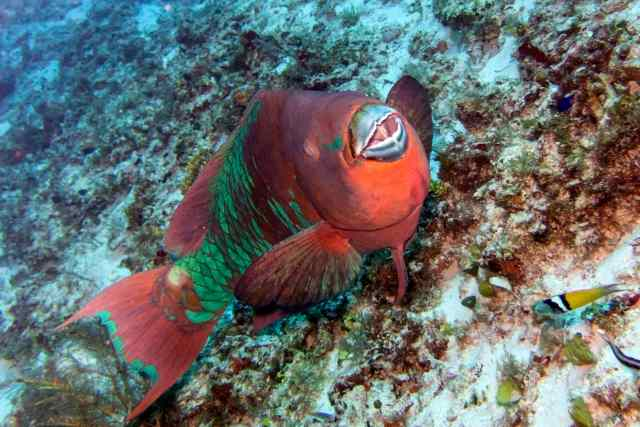 coz 13 fran rainbow parrotfish