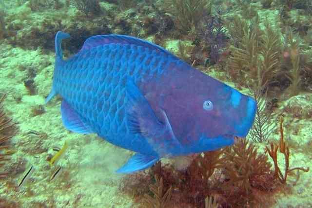 A Blue Parrotfish!