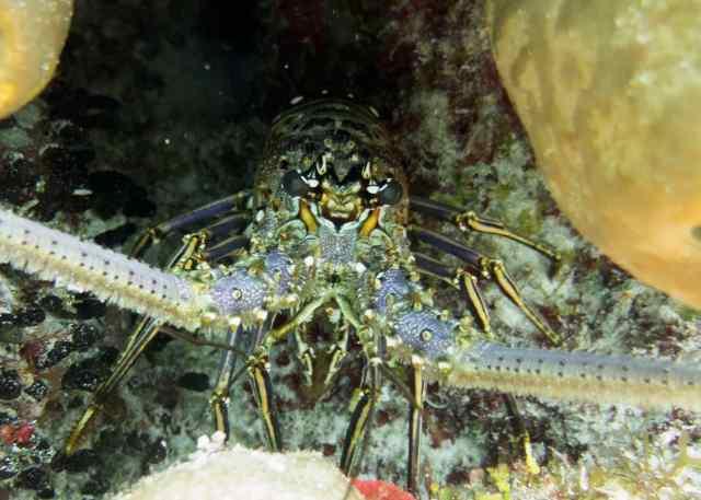 15 lobster