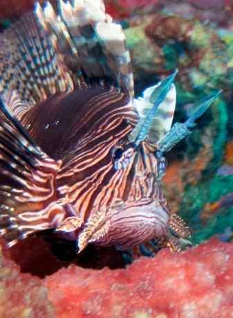 15 cg lionfish plumage