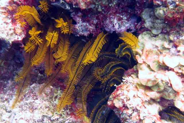 Gorgeous, feathery Crinoids