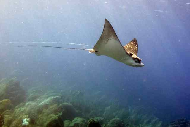 You can clearly see the fishing line trailing behind the Eagle Ray.