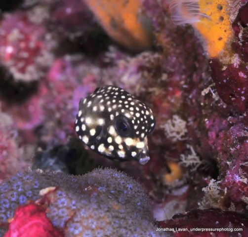 Baby Smooth Trunkfish