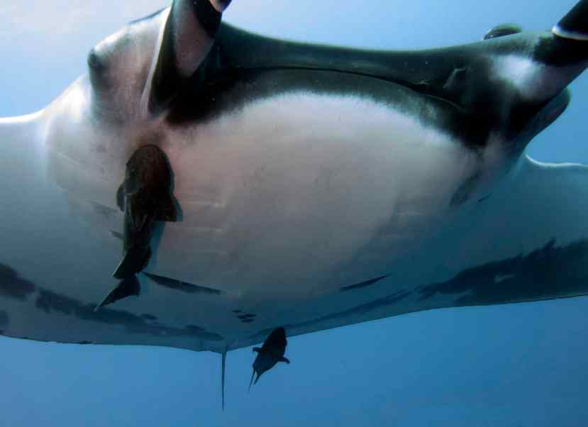 San Benedicto, diving, mantas
