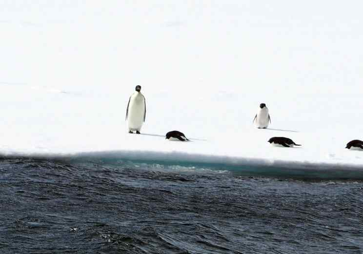 emperor penguin, antarctica, penguins, lindblad expeditions