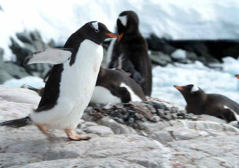 antarctica, booth island, penguins