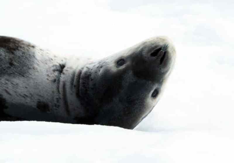 antarctica, penguins, iceberg, leopard seal