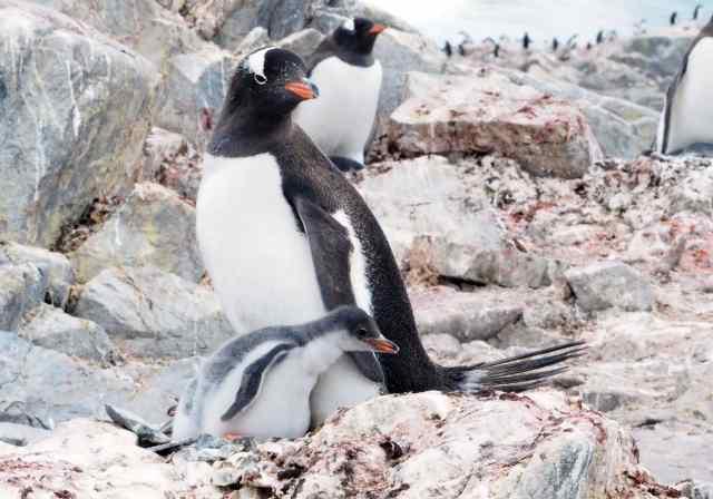 antarctica, Blue whale, leopard seals, Lindblad, gentoos