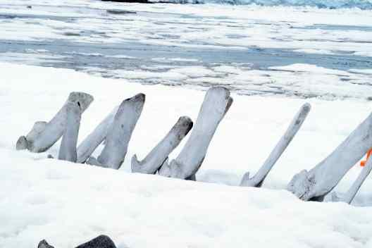 gentoo, penguins, antarctica