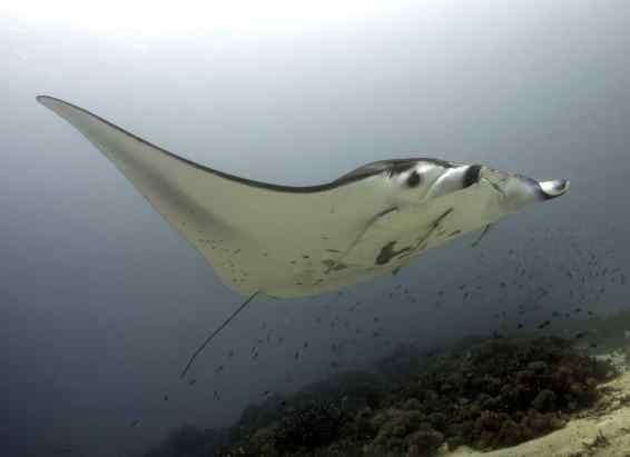 citizen science, diving, scuba, mantas, manta rays