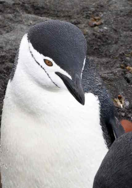 penguins, africa, antarctica, jackass, chinstrap