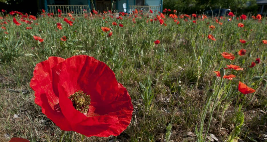 Have you ever heard of the Red Poppy Festival in Georgetown, Texas? It's time you did! Make your plans now for three days of family festivities!
