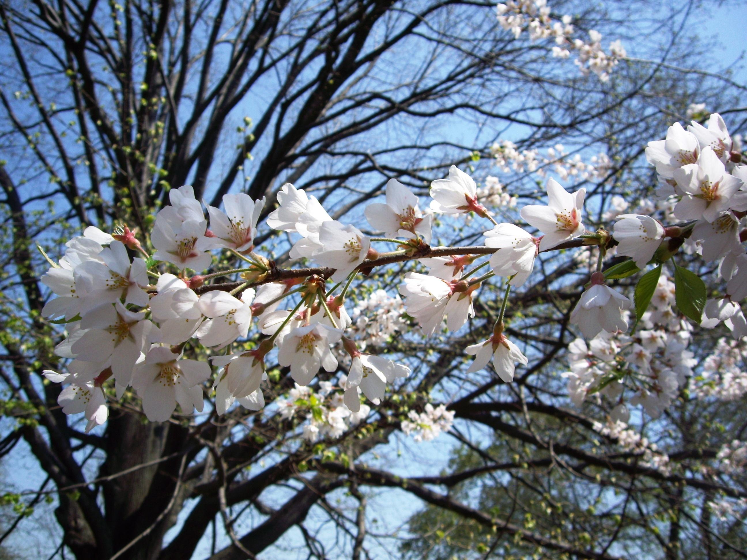 Cherry Blossom Branch. Central Park, NYC