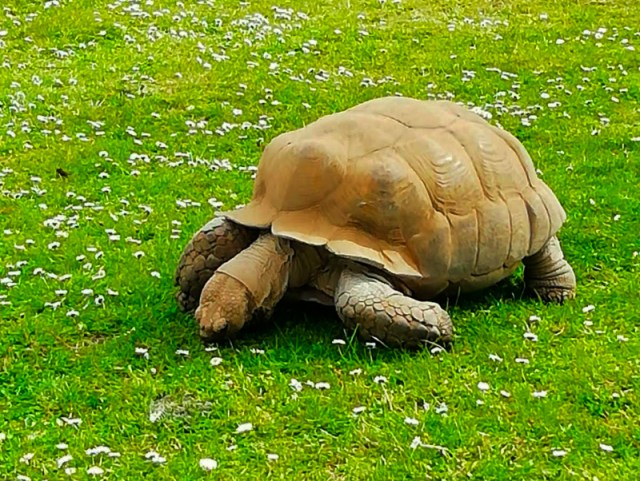 Linton Zoo Animals - Tortoise