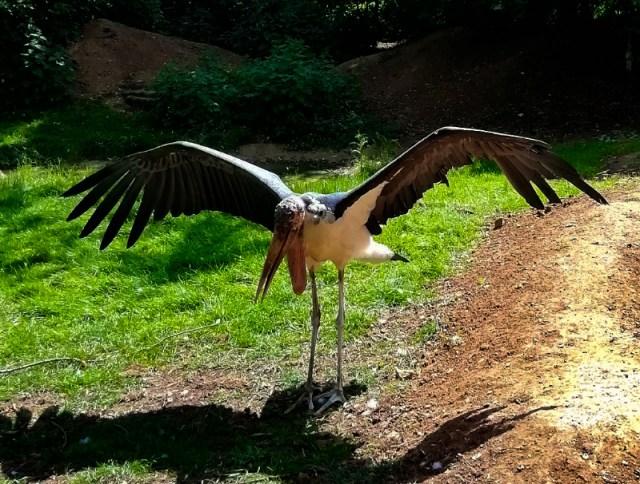 Linton Zoo Animals - Maribou Stork