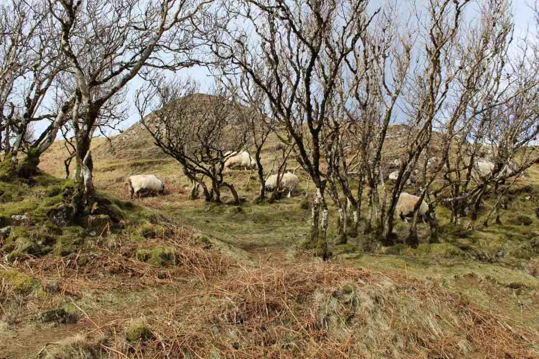 sheep in fairyy glen scotland