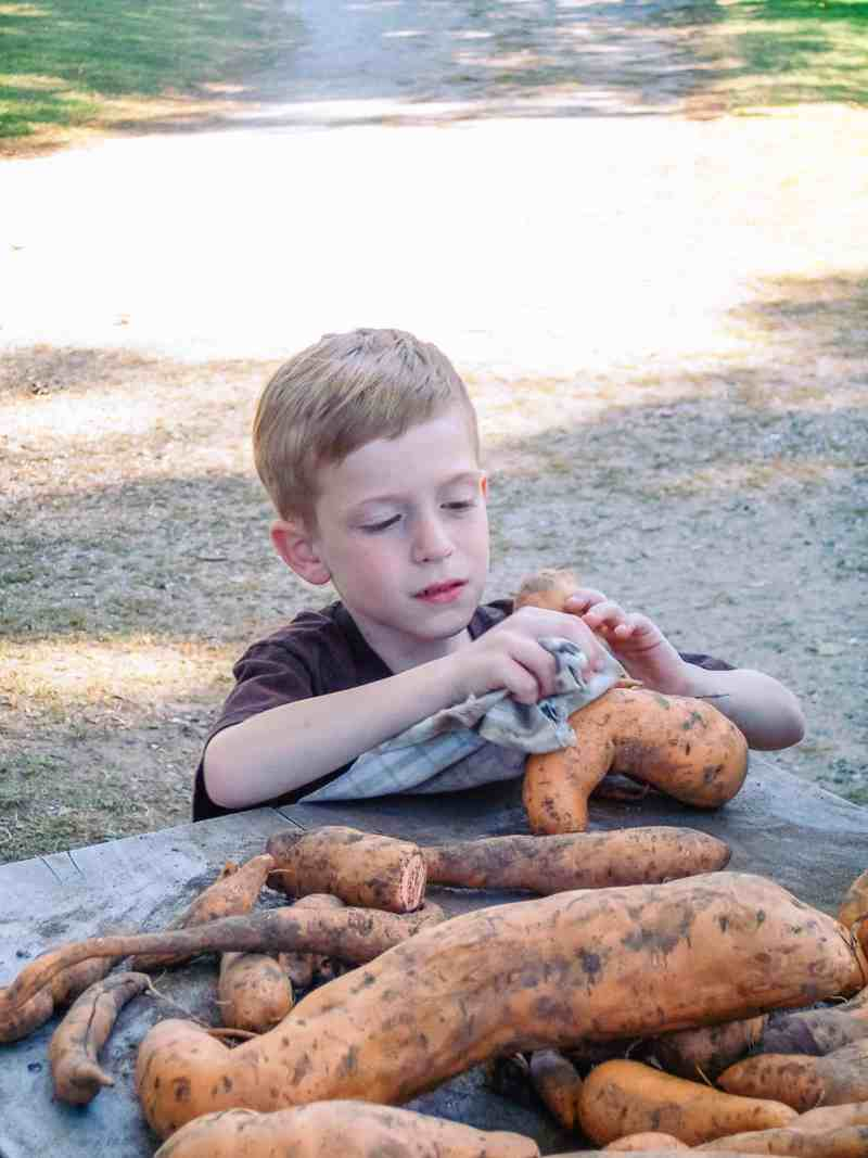 October in Tarrytown, Phillipsburg manor cleaning yams