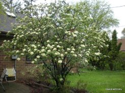 viburnum from a distance