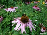 pink coneflower with bee