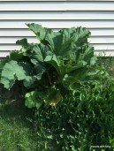 enormous rhubarb!