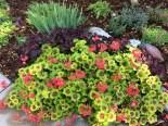 love the colors of this geranium!