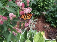from garden tour: a monarch happened along