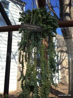 sedum marganiam? loved this plant!
