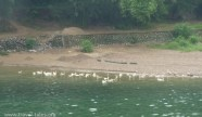 animals Guilin 69 cropped Li river cruise 38