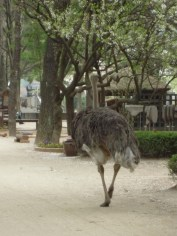 Ostrich roaming on Nami Island