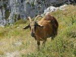 Goat La Ruta del Cares Spain