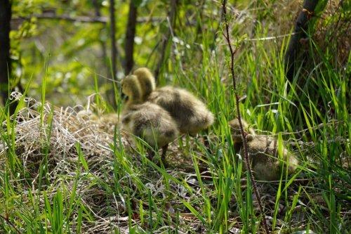 Goslings Canadian Geese