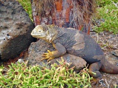 Aimals of the Galapagos Land iguana