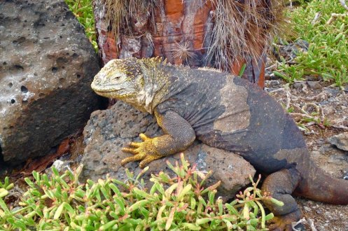Aimals of the Galapagos Land iguana