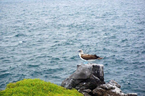 Bird on rock in Galapagos