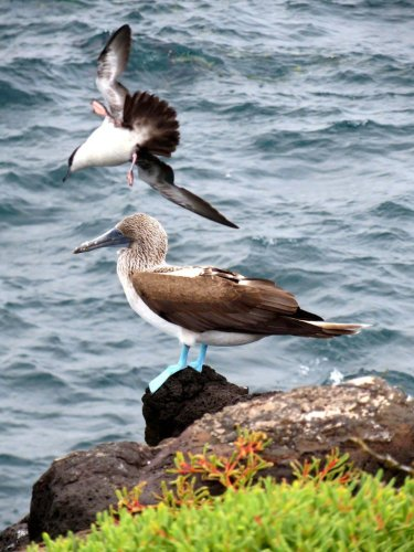Blue footed booby and bird