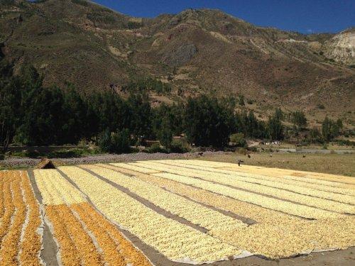 Peru corn fields
