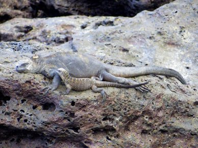 Galapagos marine iguanas