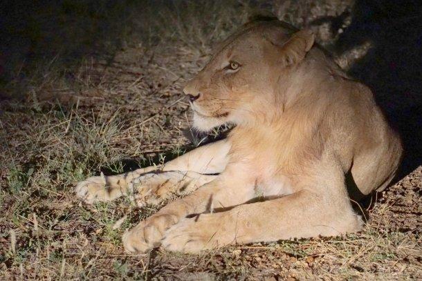 African Lion Greater Kruger National Park