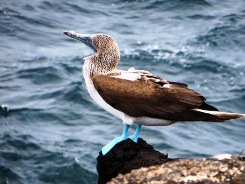 Blue-footed Booby Galapagos Islands