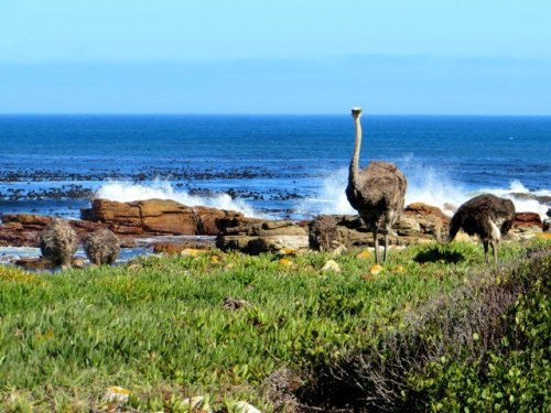 Cape of Good Hope ostriches