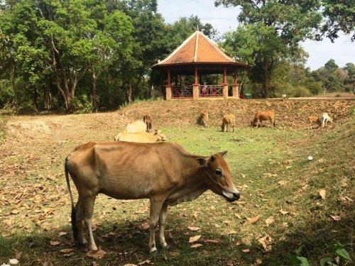 Cows Sambor Prei Kuk