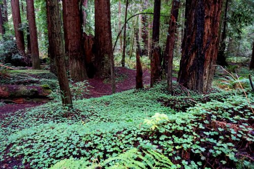 California Redwoods Forest
