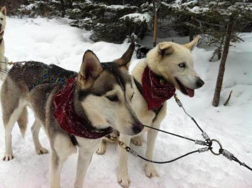 Dogsledding Alberta signature travel adventure